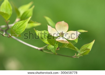 A delicate pink dogwood blossom. - stock photo