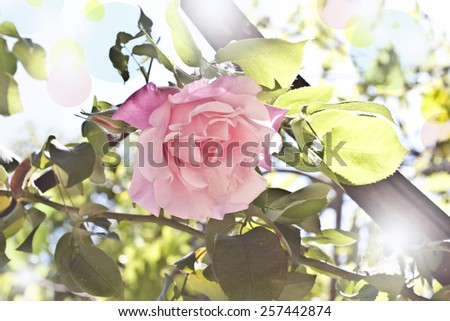 A delicate pink rose against a natural background, toned with bokeh effects - stock photo