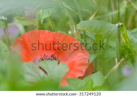 A delicate red field poppy flower (Papaver rhoeas) hidden amongst hazy green foliage. Soft focus.  - stock photo