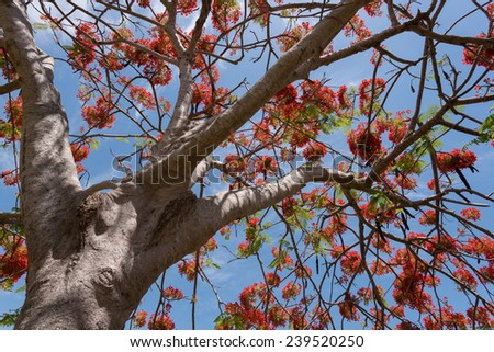 A Delonix Regia closeup in red bloom in a parc in Brisbane, Australia - stock photo