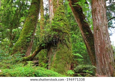 A dense forest with moss-covered trees and lush, green vegetation. - stock photo