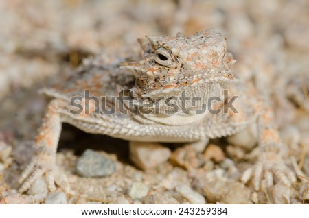 A desert horned (Phynosoma platyrhinos)  lizard in the mojave desert. - stock photo