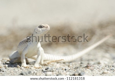 A desert iguana in the Coachella Valley of Southern California. - stock photo