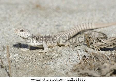 A desert iguana in the Coachella Valley of Southern California. - stock photo