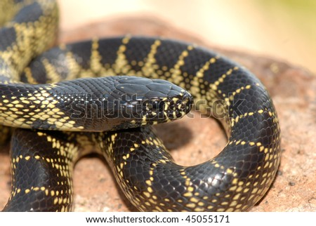 A desert kingsnake from the intergrade zone of southern Arizona. - stock photo