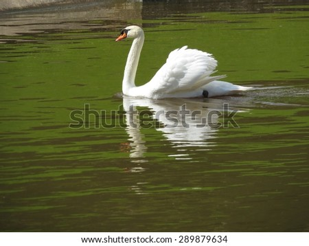 a detail of a swan - stock photo