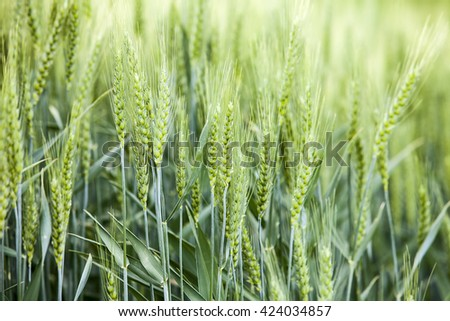 A detail view shows the kernels of grain from a wheat field in the Palouse area of Eastern Washington state.