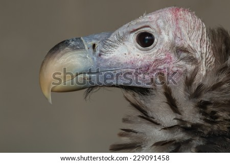 A detailed and  close up head profile portrait of a lappet-faced vulture - stock photo