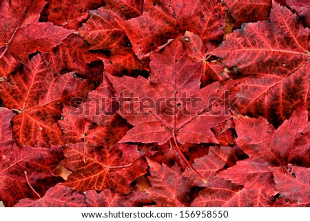 A detailed close up of real fallen autumn red maple leaves in a pile.   - stock photo
