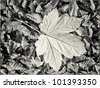 A detailed maple leaf texture - stock photo