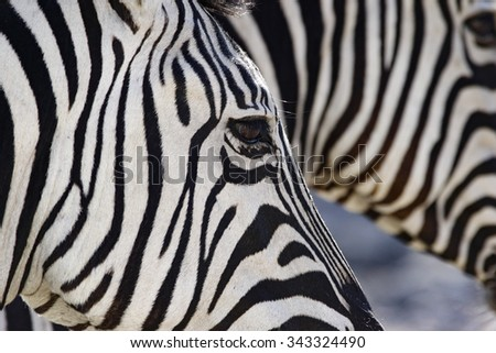 a detailed view of the black and white striping pattern of an African zebra - stock photo