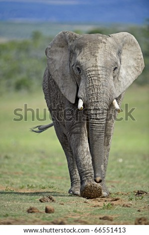A determined elephant strides towards the photographer - stock photo