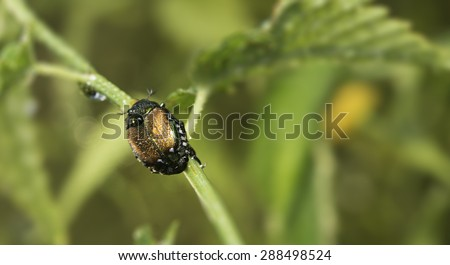 A dew covered Japanese beetle sitting on a branch of a wild rose plant.  These cold blooded creatures can not move until temperature raises.  - stock photo