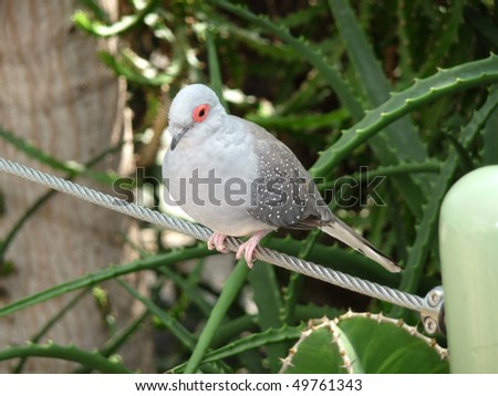 A diamond dove is sitting on a rope - stock photo