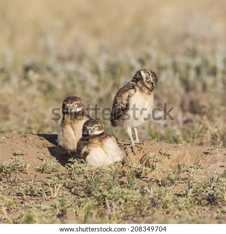 A Different Point of View - One burrowing owl tilts its head sideways to get a better view of its new world. Commerce City, Colorado. - stock photo