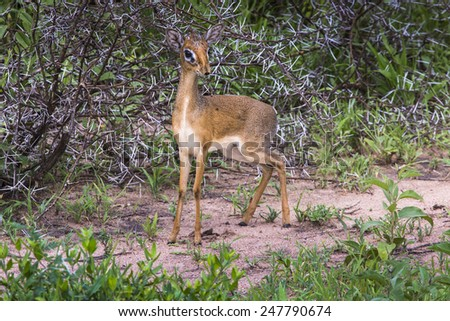 A dik-dik, a small antelope in Africa. Lake Manyara national park, Tanzania - stock photo