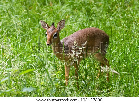 A dik-dik stands in a field - stock photo