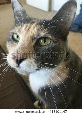 A diluted calico domestic short hair cat