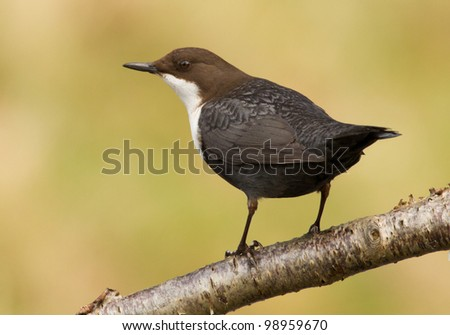 A dipper on a branch