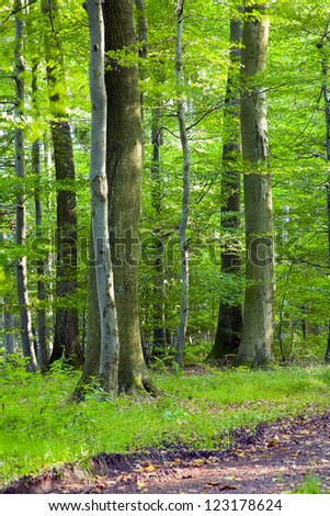 A dirt road in the mixed forest (beech, oak and ash) in a sunny evening, by Beckingen,  Saarland / Germany, - stock photo