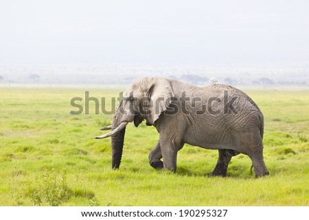 A dirty African Elephant in Amboseli National Park in Kenya with a bird on his back.