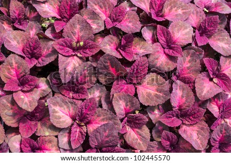display coleus plants red leaves stock photo   shutterstock, Natural flower