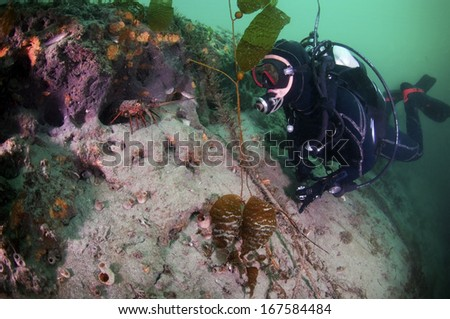 A diver and spiny lobster square off - stock photo