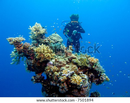A diver behind a colouful coral head in the Red Sea, Egypt