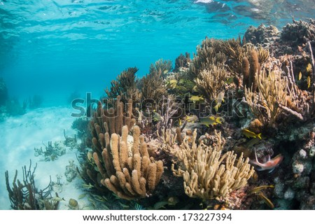 A diverse coral reef grows in the shallow waters of Belize's barrier reef in the Caribbean Sea. Belize's reef is about 220 km in length running from the Yucatan to the Gulf of Honduras.