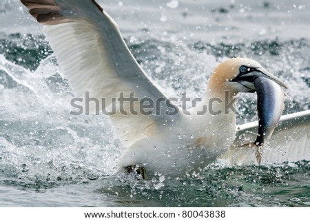 A diving Gannet fishing for food off Bass Rock