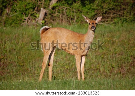 A Doe in the Meadow