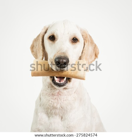 A dog holding a bone in it's mouth against a white background.