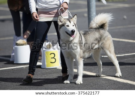 A dog in a dog show. Image taken on a sunny day in the asphalt field. The dog breed is husky.