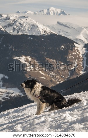 A dog in front of Mont Blanc massif. Alps, France.
