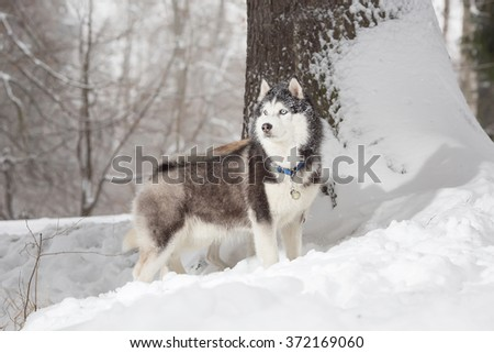 A dog in the hunt. Winter.