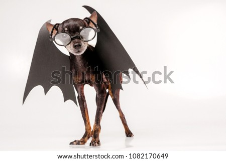 A dog in the v&ire costume. Bat wings. The dog is wearing round glasses : costume bat wings  - Germanpascual.Com