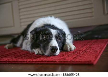 A dog laying on a red rug looking sad and lonely - stock photo