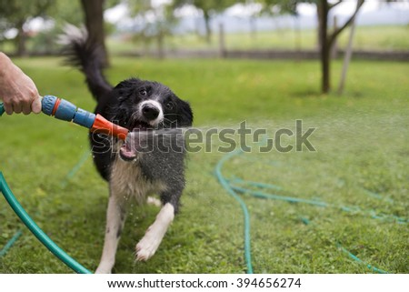 A dog playing with water from a garden hose. - stock photo