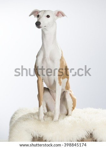 A dog portrait of a whippet dog. Whippet is photographed in the studio.