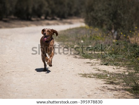 a dog running in the field - stock photo
