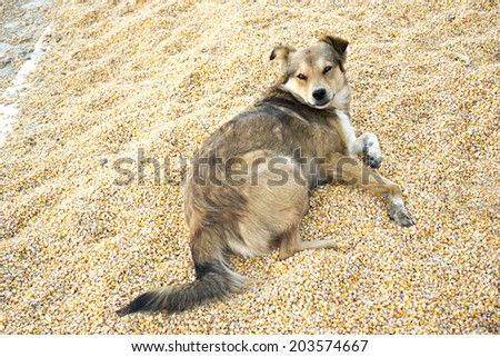 a dog standing on wheat