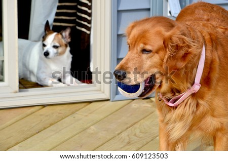 A dog watches longingly as another dog gets to play outdoors