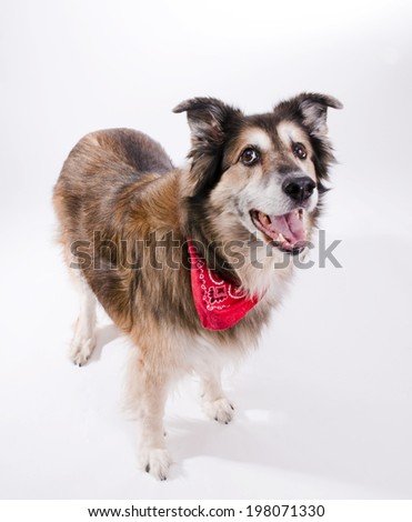 A dog wearing a bandanna staring at something out of sight.