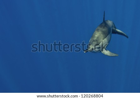 A dolphin on a blue background looking at you