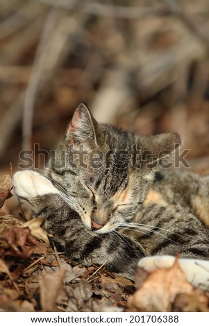 A Domestic Cat Cleaning its Paw in the Woods.  - stock photo