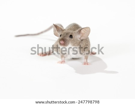 A domestic mouse looking around. - stock photo