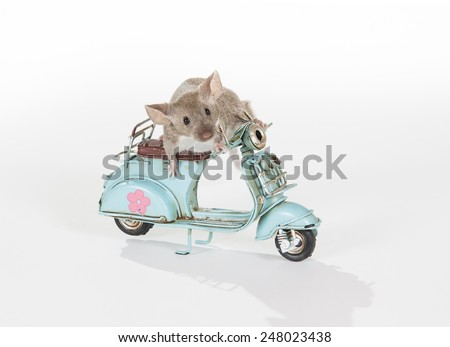 A domestic mouse riding a scooter. - stock photo