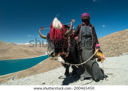 A domesticated yak on the Gambo Pass above Yamdrok Lake in the Tibet Autonomous Region of China.  - stock photo