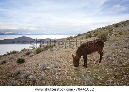 A donkey grazing at sunset on Isla del Sol, Lake Titicaca, La Paz Department, Bolivia. - stock photo