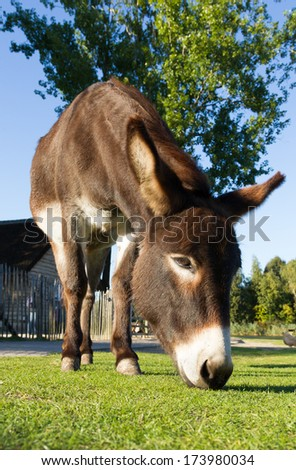 A donkey is grazing on a farm yard seen from low viewpoint